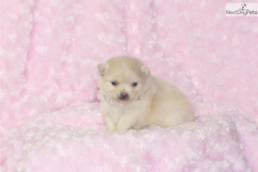 Rose Glen North Dakota ⁓ Try These Teacup Pomeranian Puppies