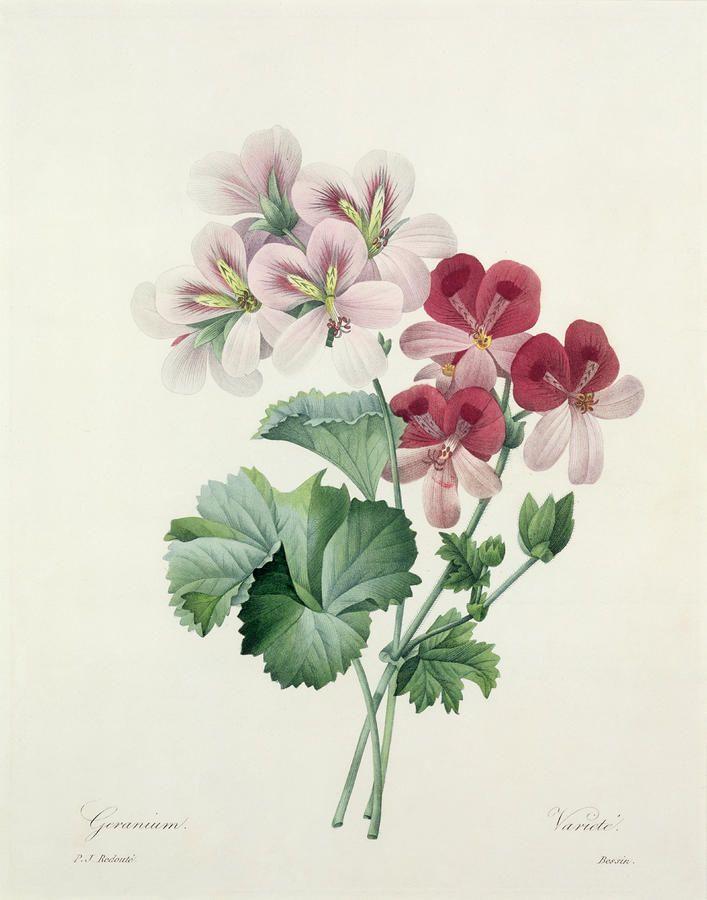 geranium flower drawing - photo #19