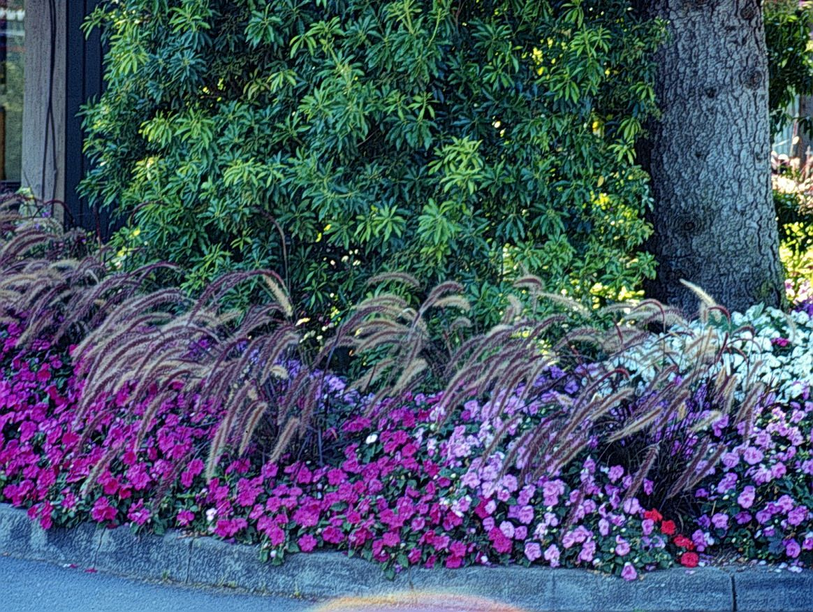 Ornamental grasses for the central fl area image for Red landscaping grass