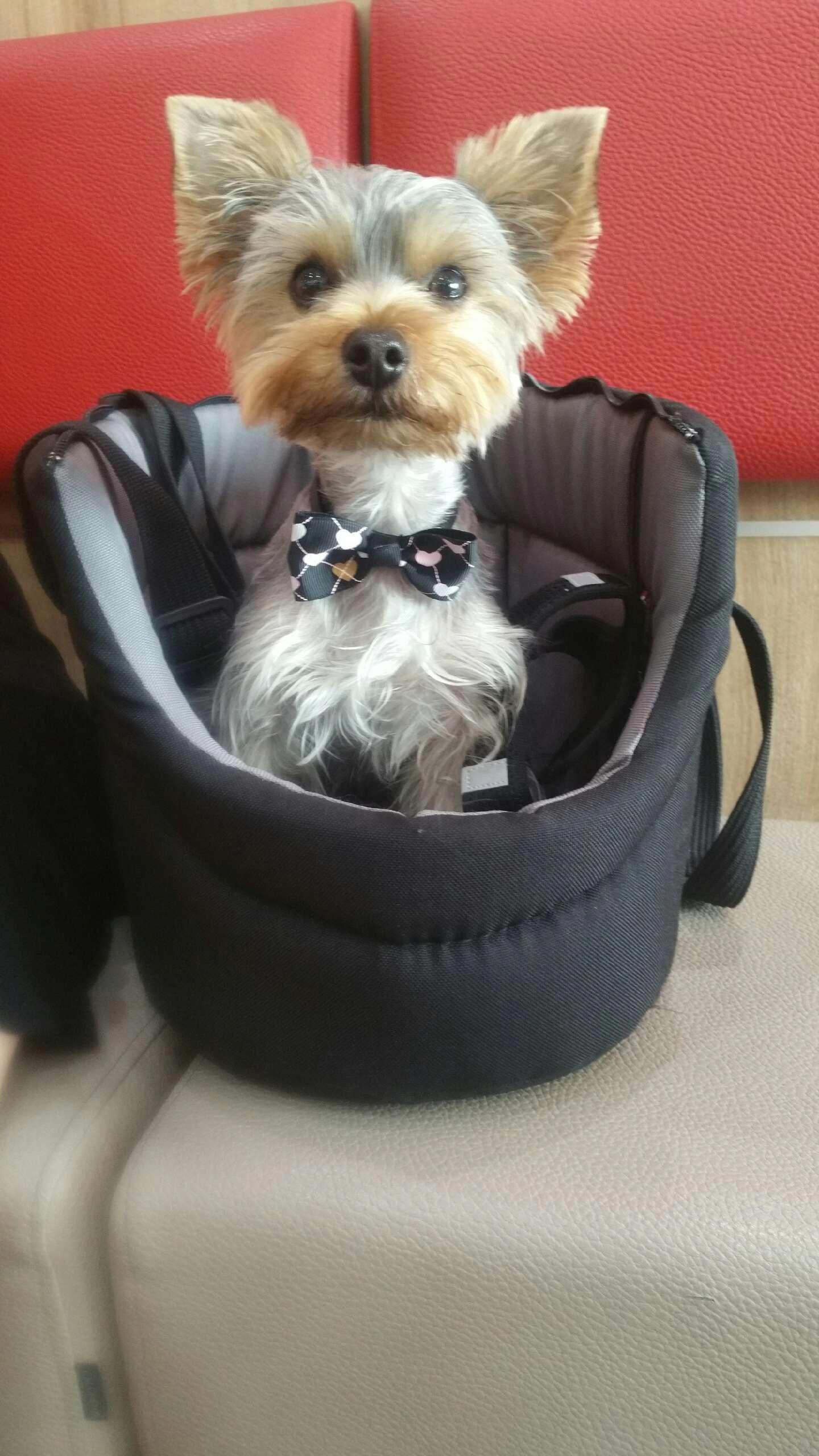 Obtain Excellent Pointers On Yorkshire Terriers They Are Available For You On Our Internet Site In 2020 Yorkshire Terrier Yorkshire Terrier Puppies Lap Dogs