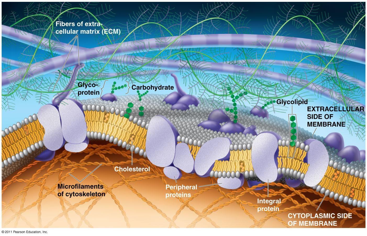 The Plasma Membrane Structure Cell Membrane Structure Plasma Membrane Cell Biology [ 902 x 1402 Pixel ]