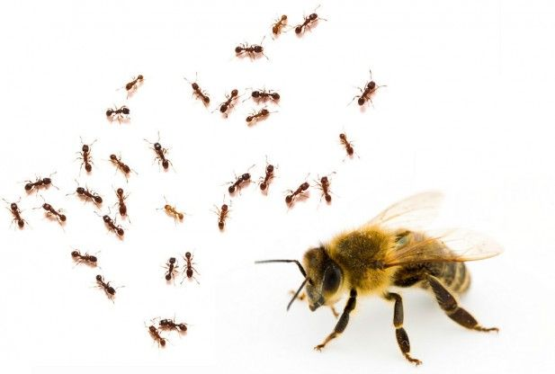 Ants More Genetically Similar To Bees Than Wasps ...