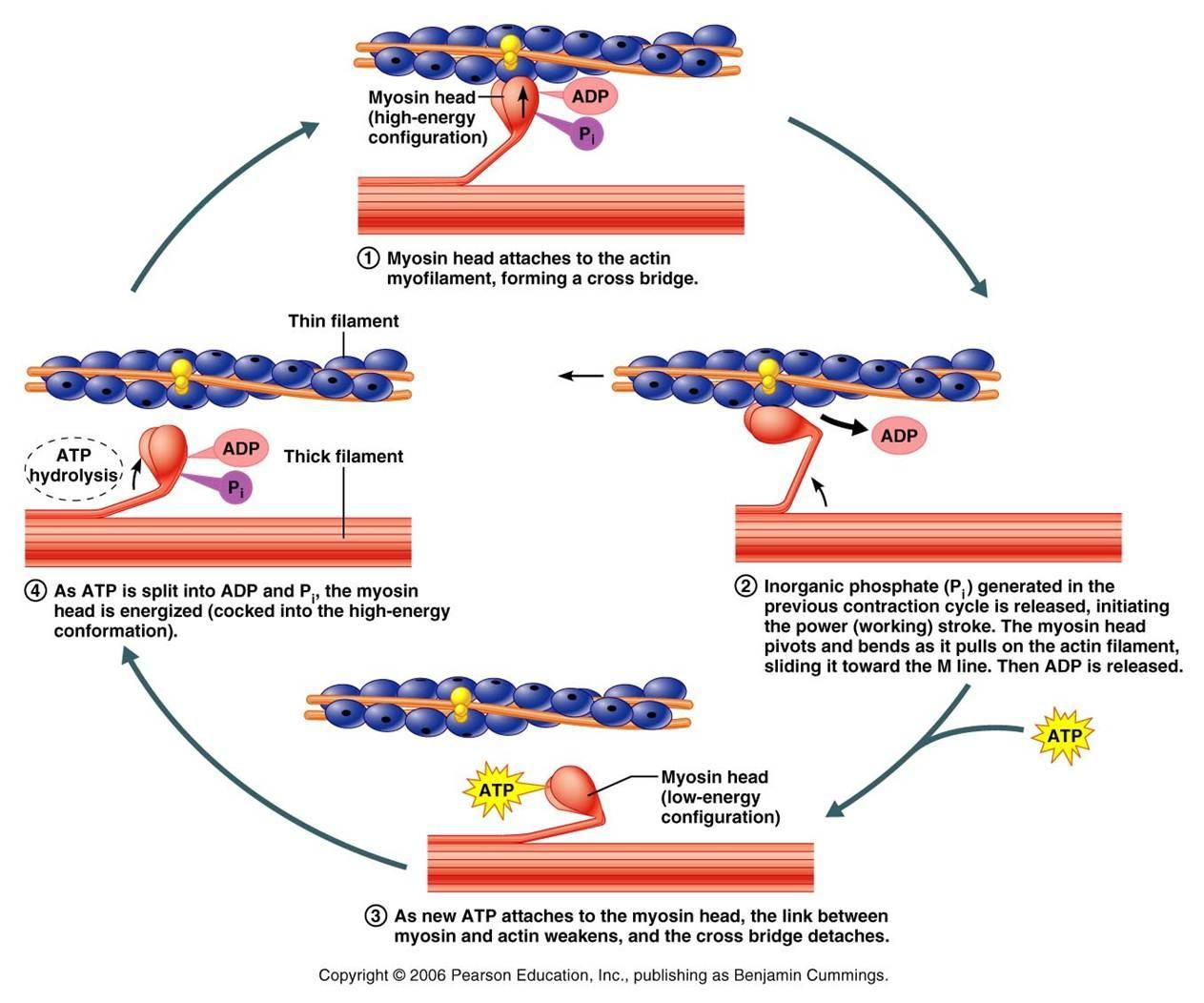 cross bridge movement muscle contraction - Google Search | Study ...