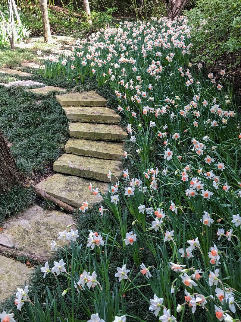 Inspiring Garden Design A Daffodil Landscape In Dallas Garden Design Daffodils Daffodil Gardening