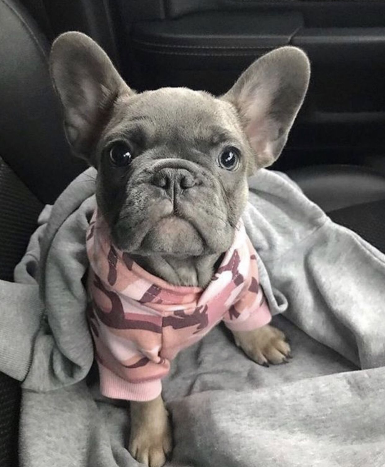 My wholeeee heart ♥️ Blue french bulldog puppies