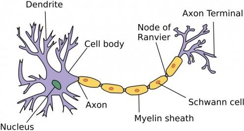 Nerve cell diagram and functions circuit connection diagram the human brain facts anatomy functions and diagrams brain rh za pinterest com sensory neuron nerve cell diagram blank ccuart Choice Image