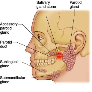 25+ best ideas about salivary gland on pinterest | neck tumor, Skeleton