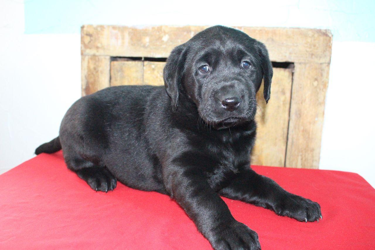 Lisa Female AKC Labrador