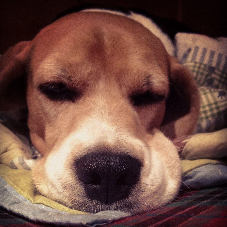 Beagle. Love Faces Beagles