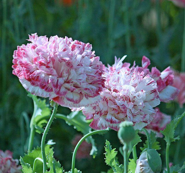 Mohn Rembrandts Best Mohn Blumen Mohnblume