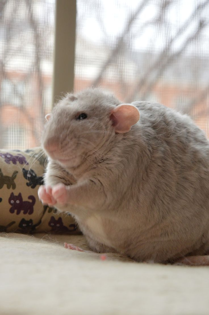 image result for prettiest girl pet rat | 'twas the night before