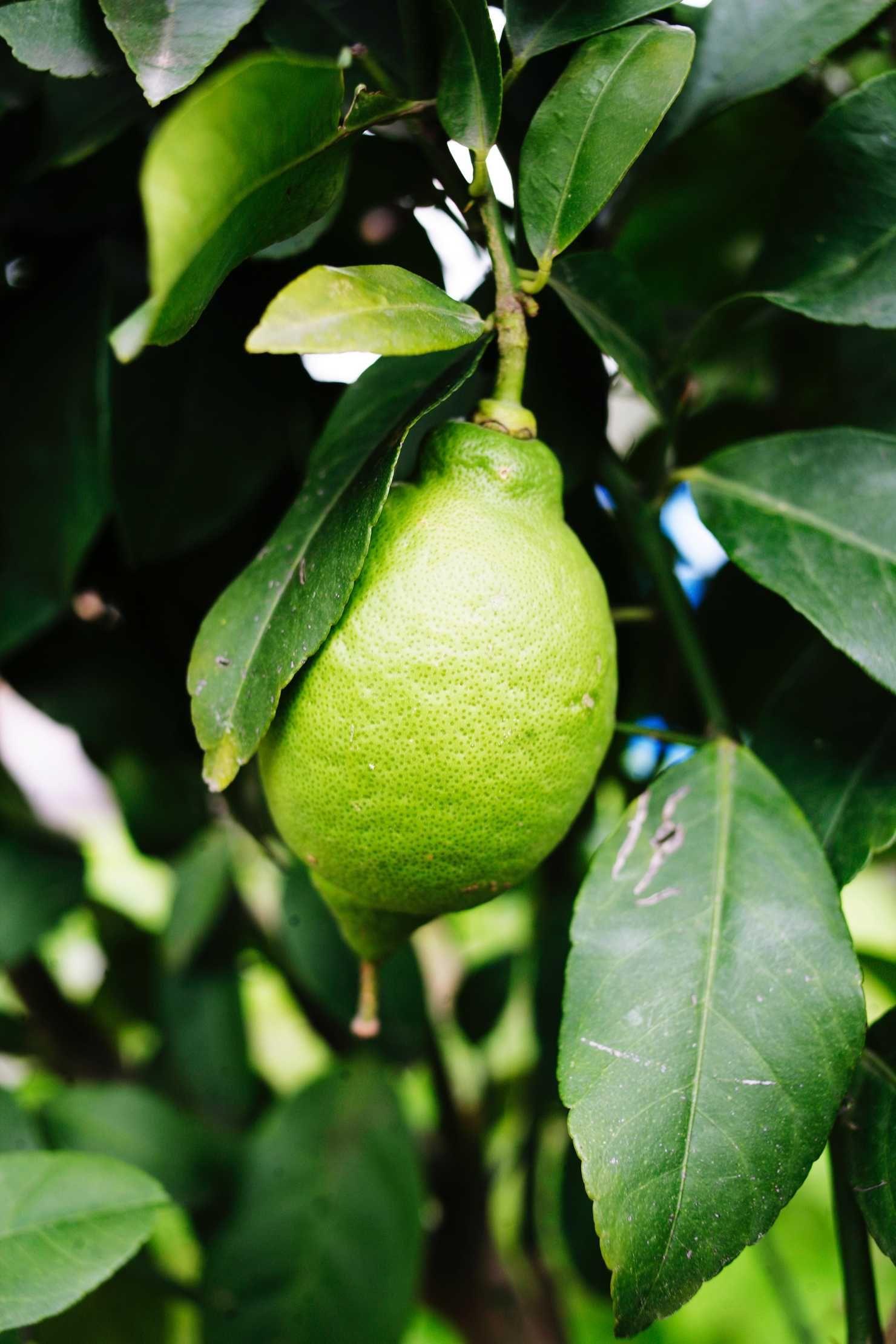 Sitruunapuun Kasvatus