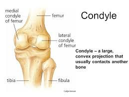 condyles are rounded articular projections that help form joints
