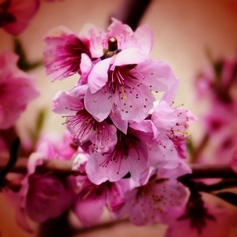 Cherry Blossoms Smell So Heavenly Photo Mathew Beeton Flowers Cherry Blossom Nature Inspiration