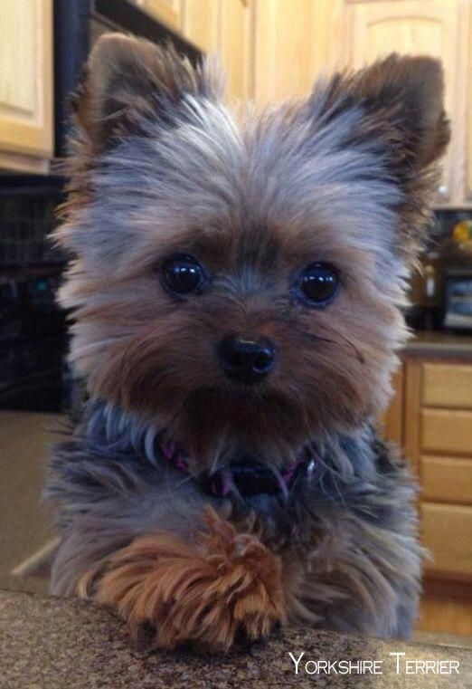 Discover More Info On Yorkshire Terriers Visit Our Website Terrier Puppies Yorkshire Terrier Puppies Yorkie Dogs
