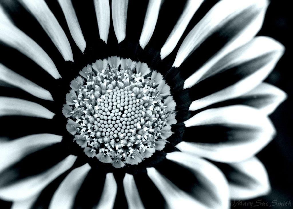 Flower in black and white | Flickr - Photo Sharing!