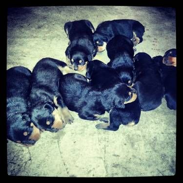 Rotteweiler Cute Animals Dogs And Puppies