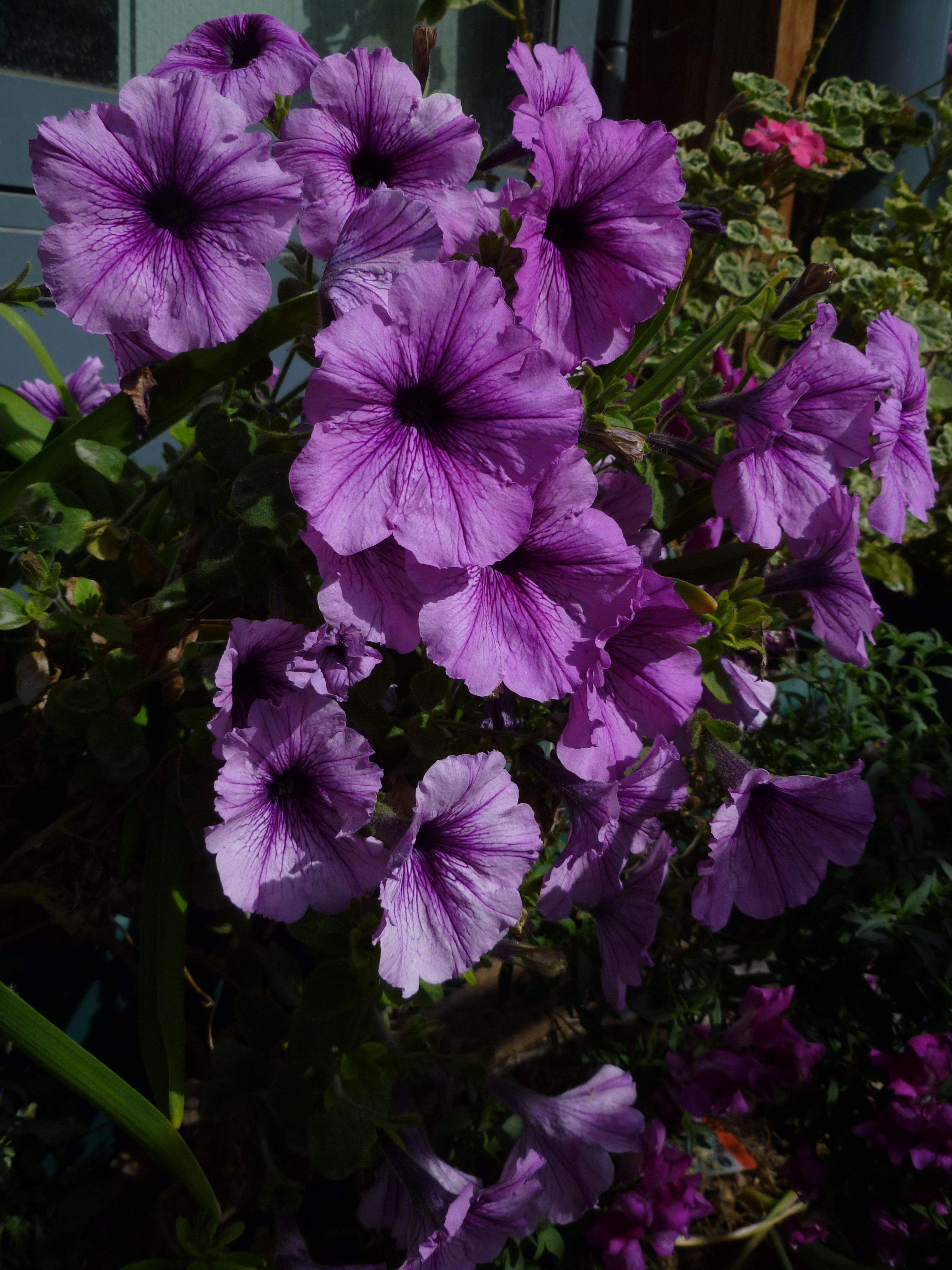 Purple Petunias Purple Purple Petunias Pink Purple Purple Rain