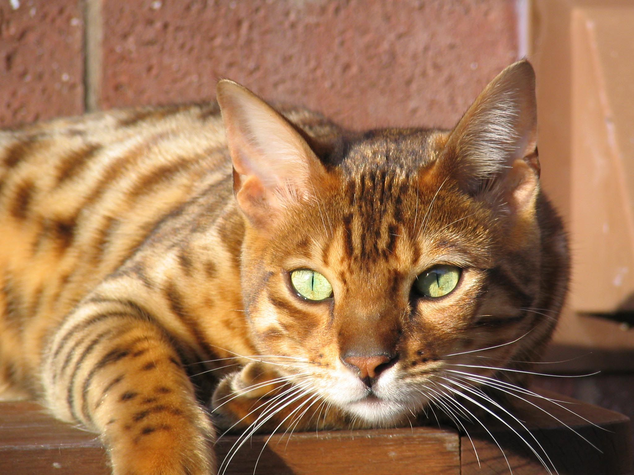 19+) Fabulous Cats That Look Like Tigers, Cheetah, Lion, Leopard ...