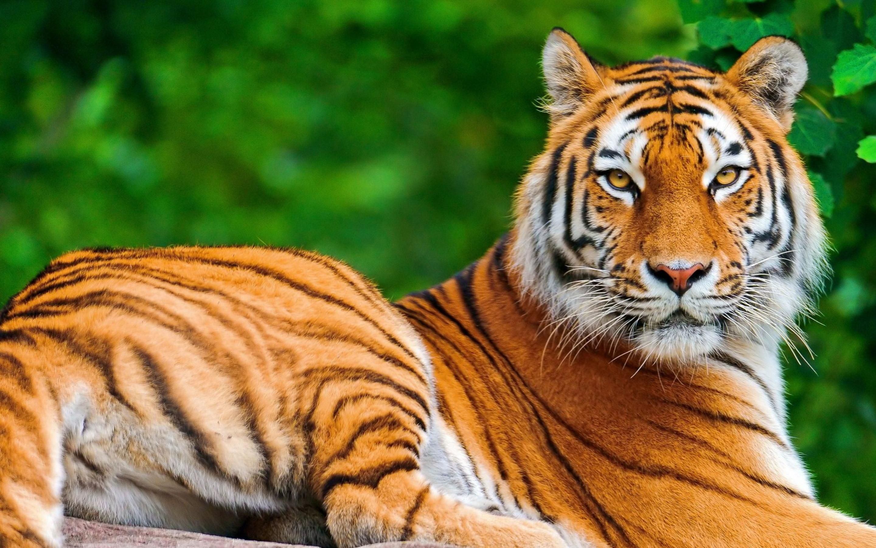 tiger hd wallpapers tiger pictures free download p hd | hd