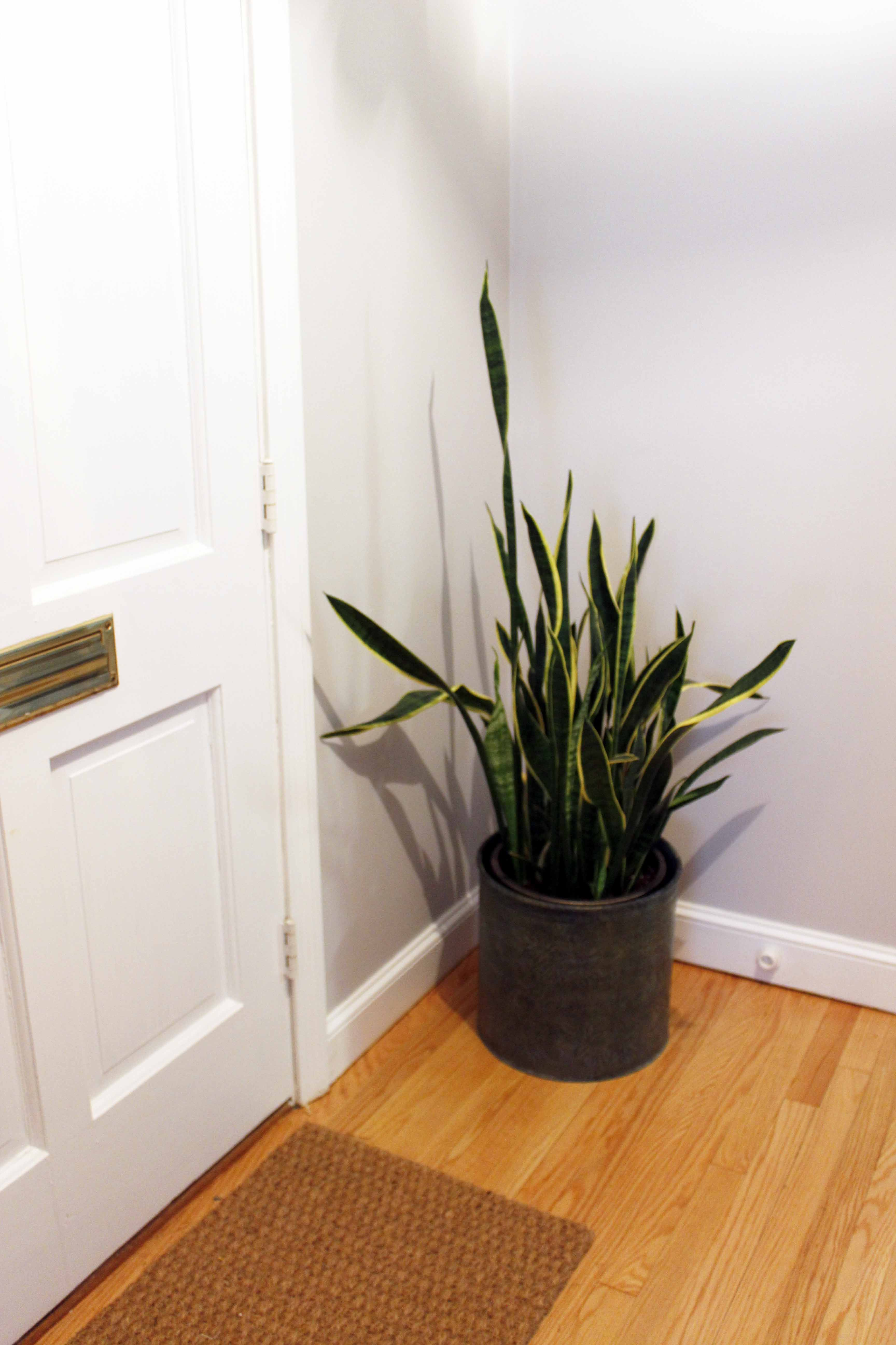Learn how to propagate your snake plant through leaf clippings!