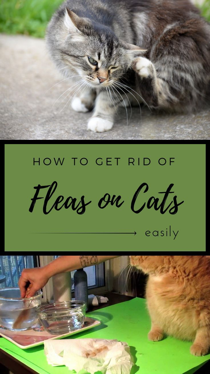 How to get rid of fleas on cats easily getcleaningtips
