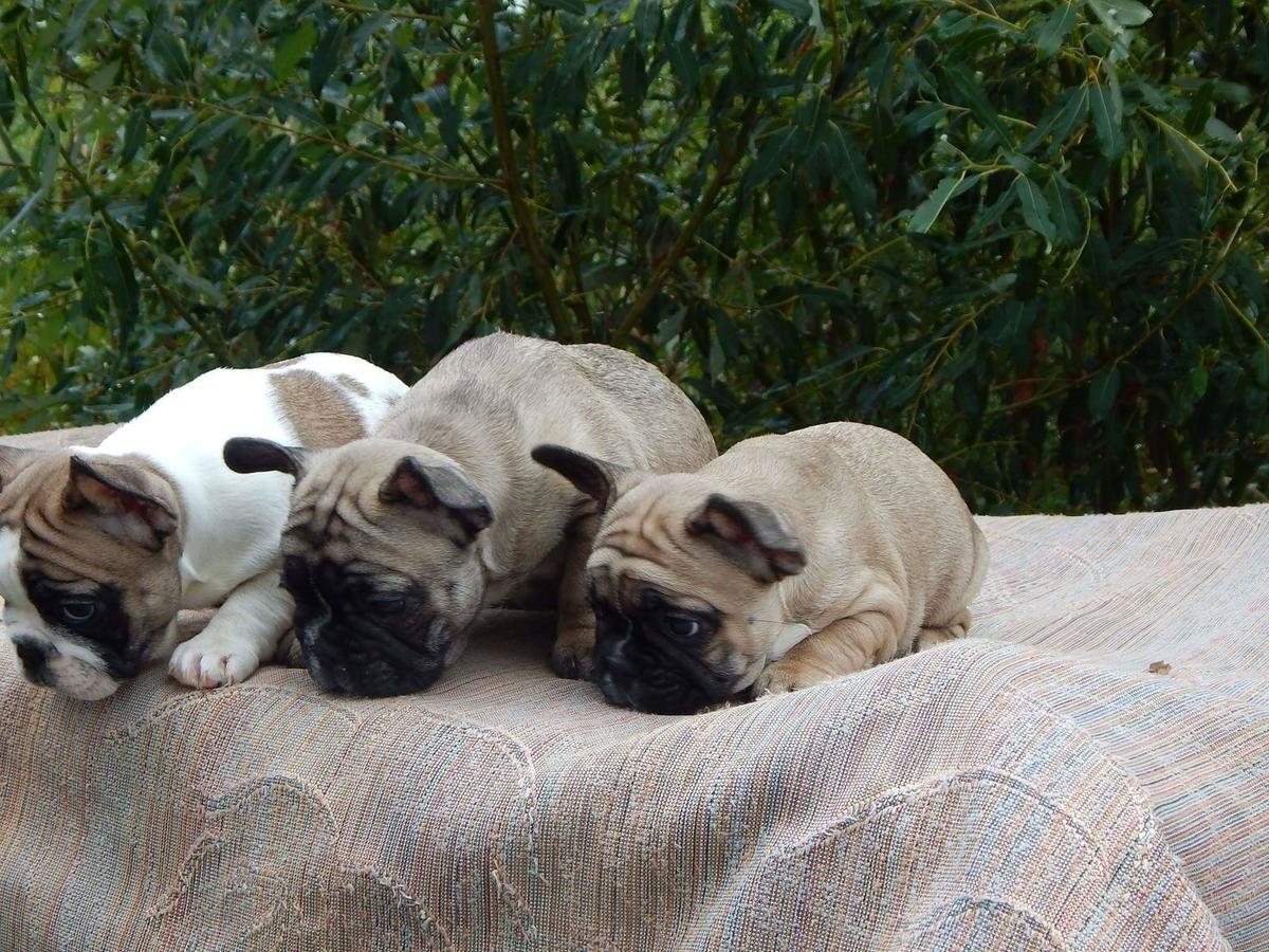 Http Www Hoobly Com 5n9q2 Akc Fci French Bulldog Puppies Htm