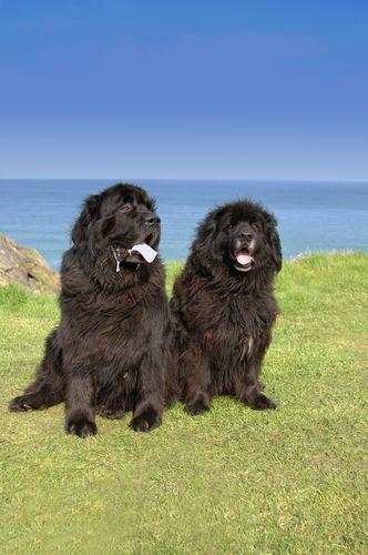 Bbs Breed Spotlight The Newfoundland Newfoundland Dog Newfoundland Big Dog Breeds