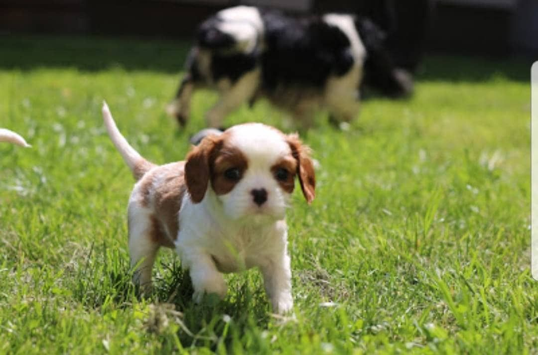 Puppies For Sale Cavalier King Charles Spaniel Jelena Dogshows