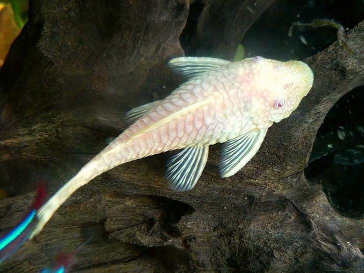 My Albino Bristlenose Plecos Are Breeding Albino Tropical Fish Aquarium 4ft Fish Tank