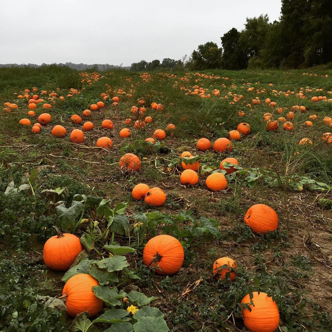 F R O L I C  #pumpkinpatch #pumpkin #pumpkins #pumpkinspice #fallmoments #autumn #pumpkineverything #pumpkinlover #pumpkinrdn #onceuponapumpkin