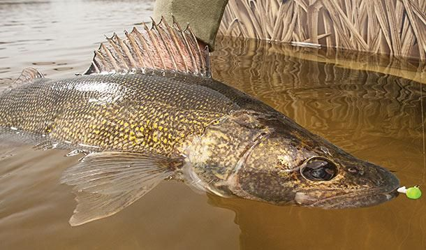 How to catch monster walleyes on hometown waters field for Walleye fishing tips