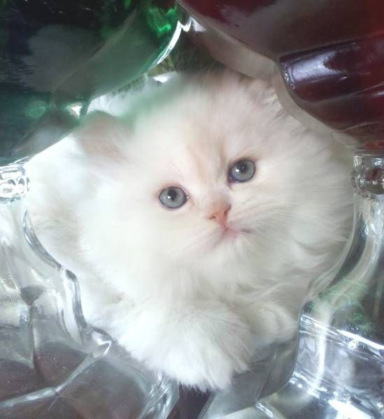 Persian Kittens Guarantee Healthy Raised In Our Loving Home With Dogs Persian Kittens Kittens Cute Dogs