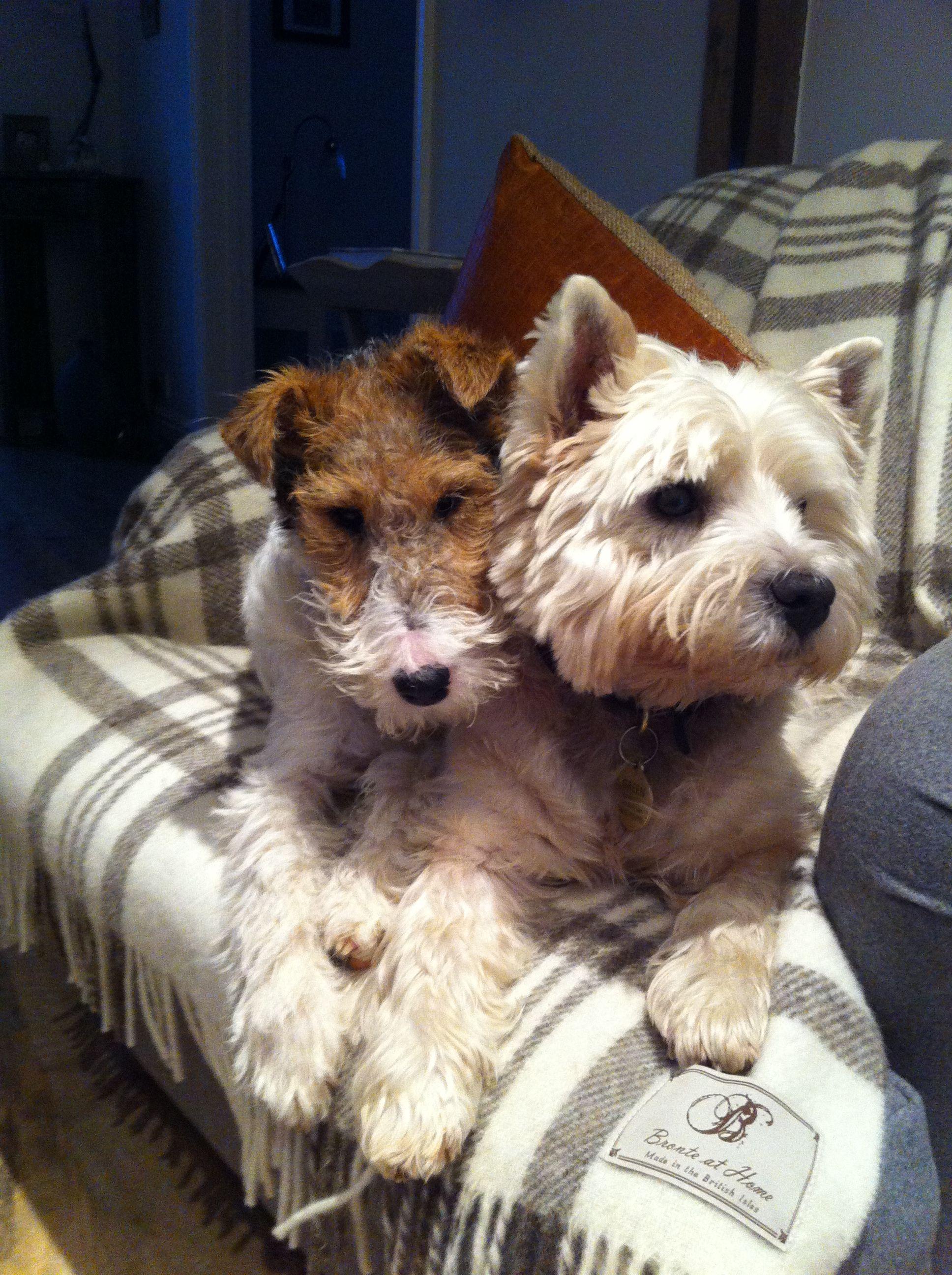 Comrades In Mischief Wire Fox Terrier Wirehaired Fox Terrier