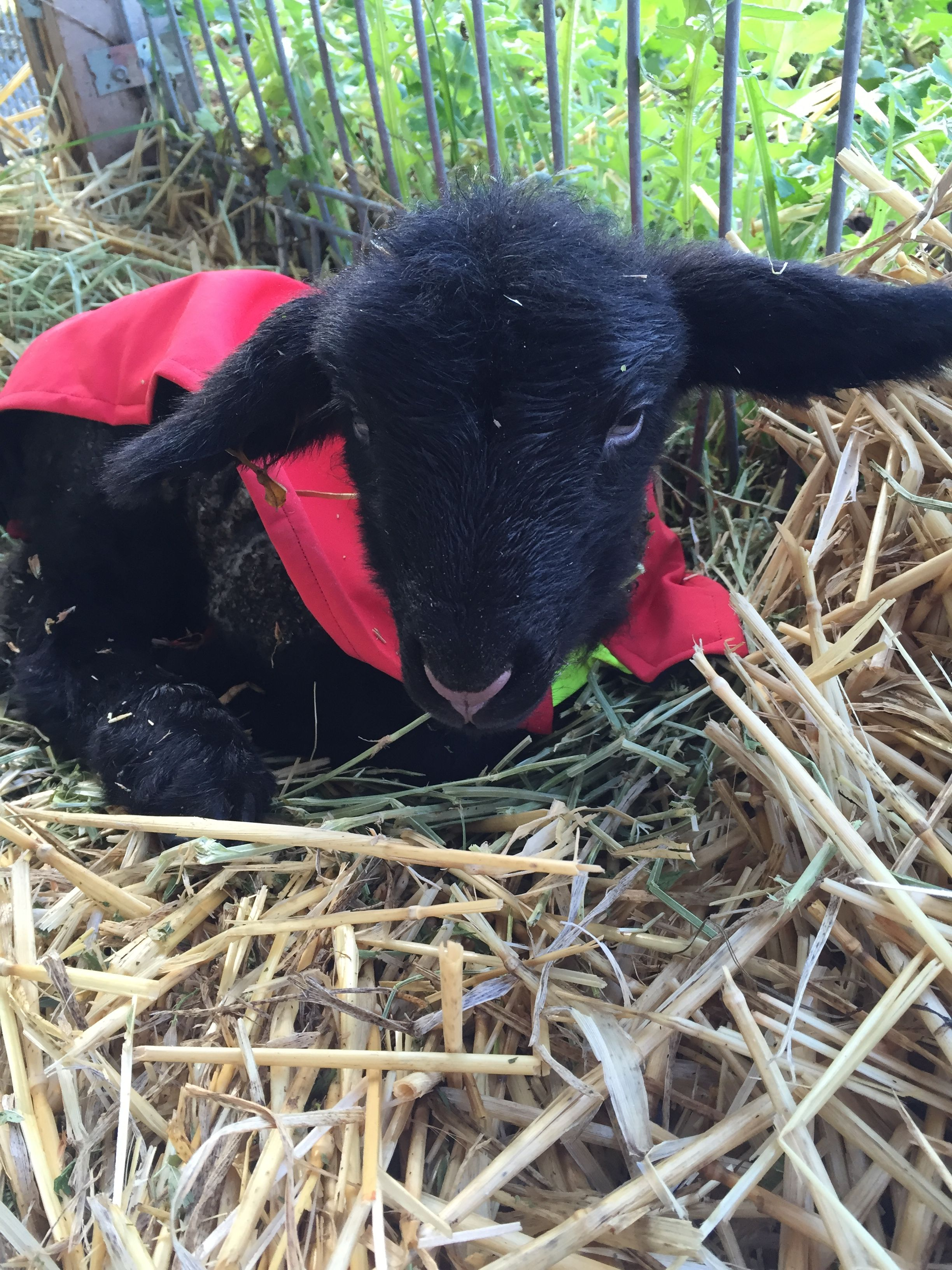 Meet Ormiston Lassie Alison life is hard being 3 hours old