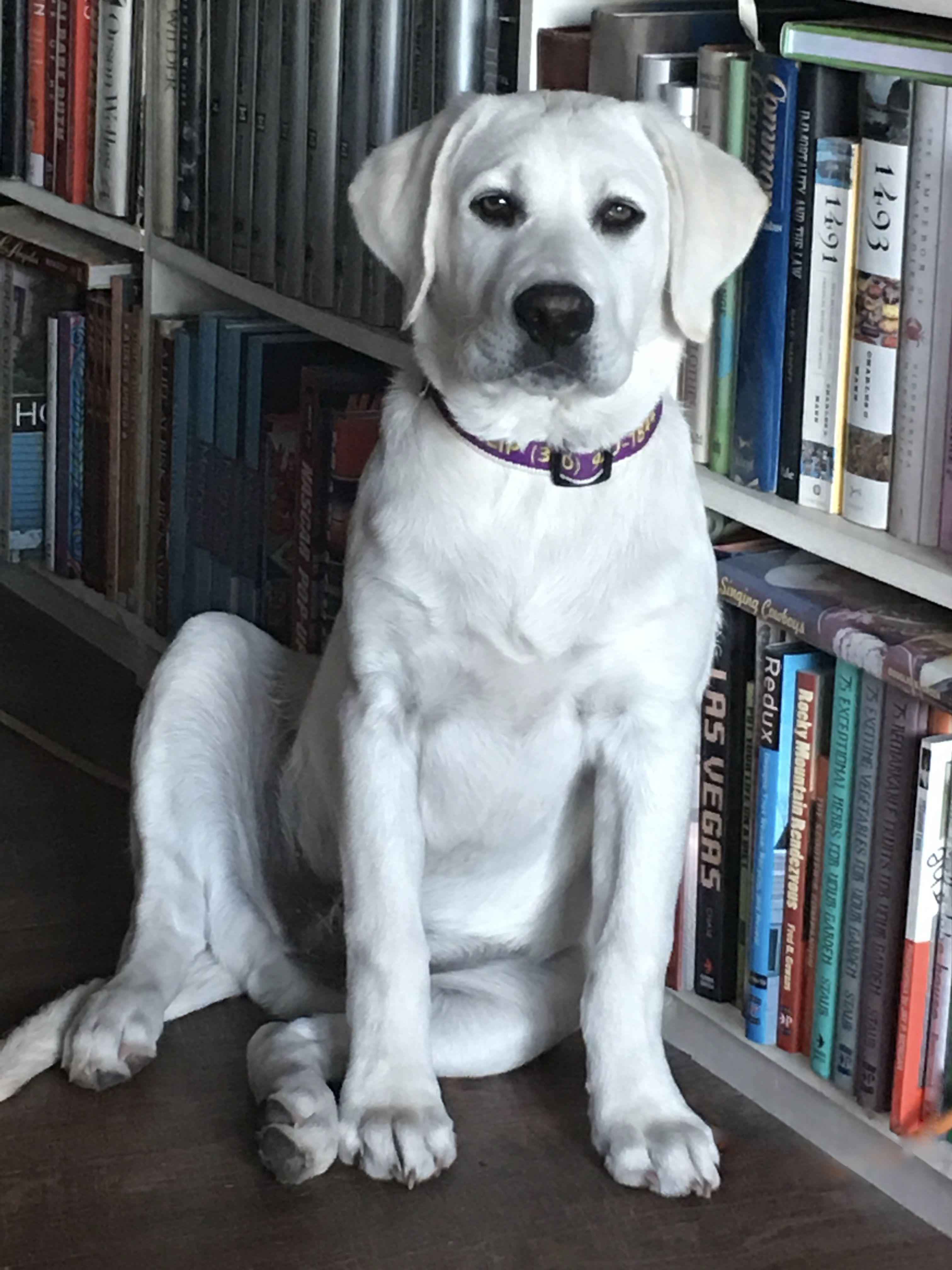 4 Month Old White English Labrador Retriever English Labrador Labrador Retriever Labrador