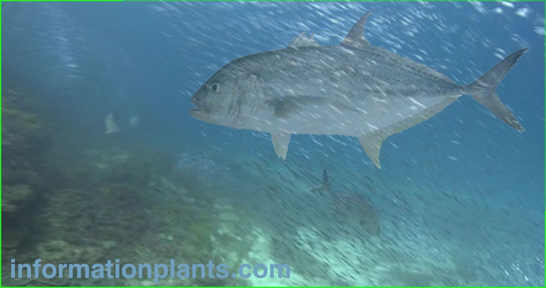 شيم نحاسي Caranx Papuensis قسم انواع الاسماك انواع الاسماك انواع الاسماك مع الصور الموقع الزراعي ومنوعات اخرى Pets Fish Fish Pet
