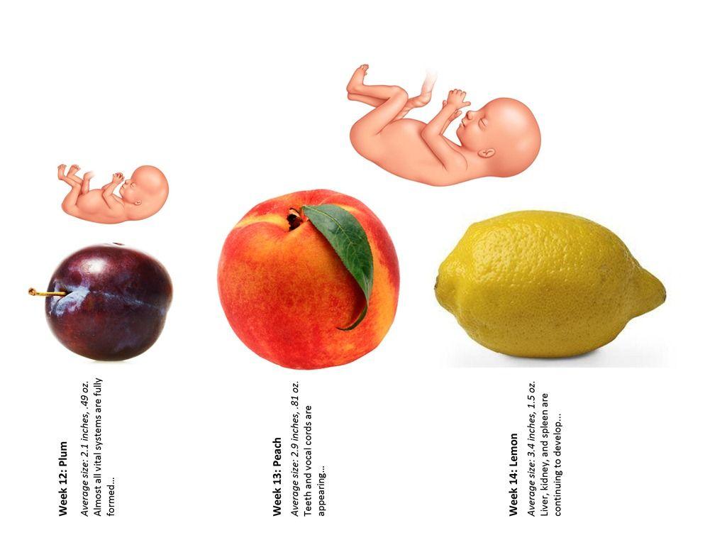 Pregnancy Baby Size Chart Week 12 Thru 14 Baby