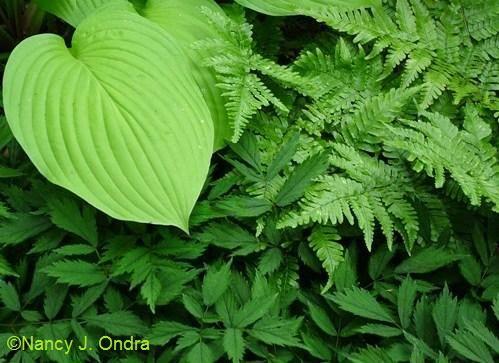 Combine textures. Hosta dryopteris Erythrosora,Astilbe chinensis Pumila.