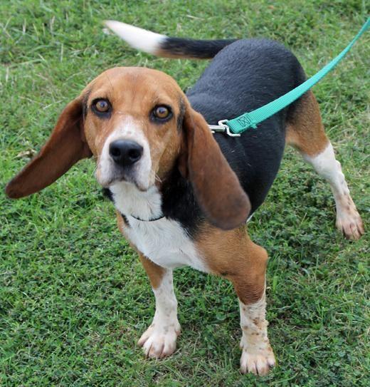 Adopt Bozwell On Beagle Dogs Kids Beagle Dog