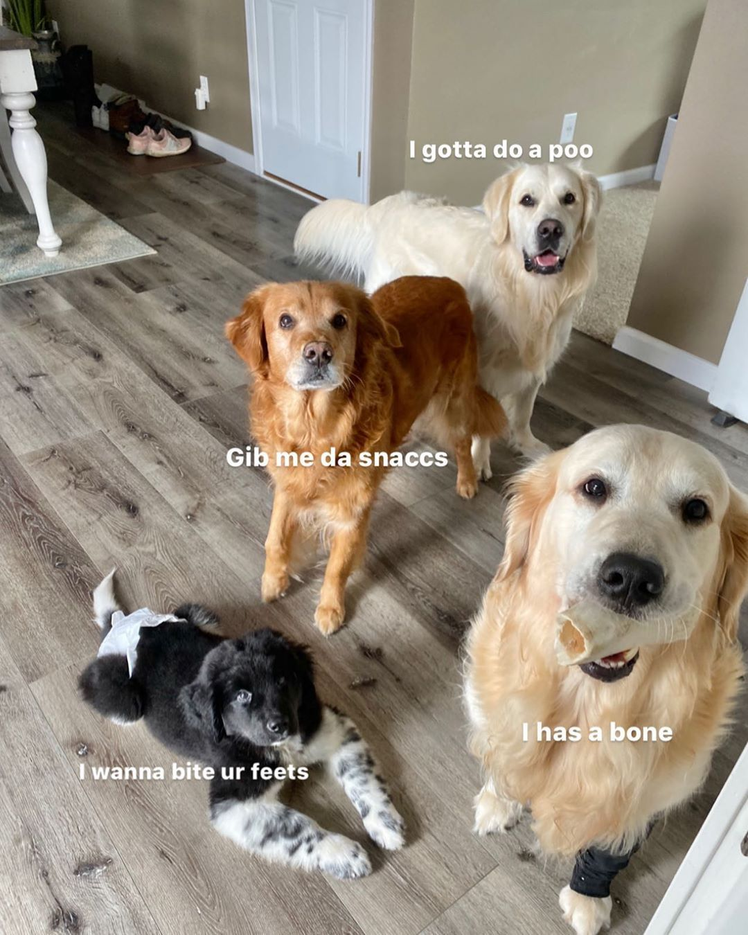 Charlie The Golden On Instagram My Dogs In A Nutshell Can We Appreciate The Fact I Got All 4 Dogs In One Pic And All Looking A Cute Dogs Dogs Cute Cat