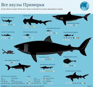 картинки | iStudy.su | Акула, Инфографика, Большая белая акула