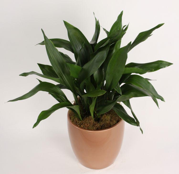 Pflanzen Die Kein Licht Brauchen zimmerpflanzen wenig licht schusterpalme beige blumentopf tipps
