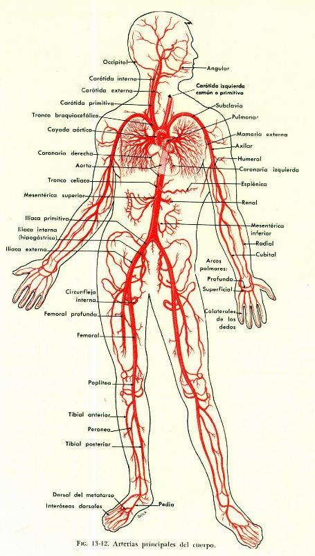 Arterias del cuerpo. | Anatomía del cuerpo humano | Pinterest | El ...