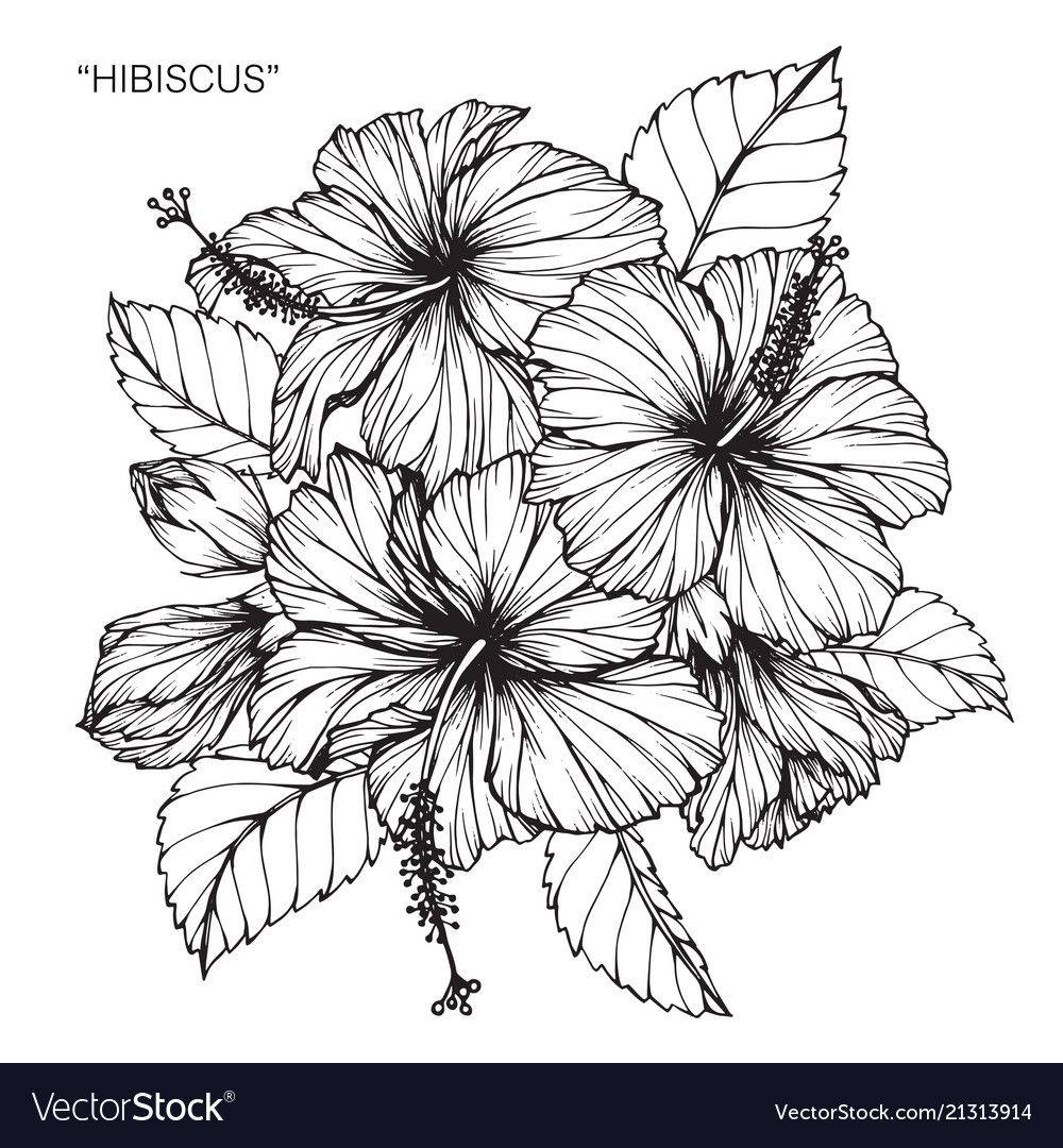 Hibiscus Flower Drawing Royalty Free Vector Image Sponsored Drawing Flower Hibiscus Royalty Hibiscus Flower Drawing Flower Sketches Flower Drawing