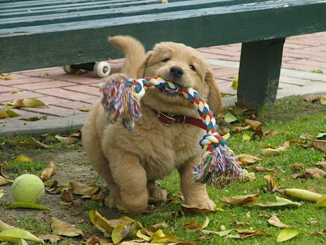 Wonderful Golden Retriever Chubby Adorable Dog - 5667a2272f098a93441e7e1cff07eb7b  Best Photo Reference_38533  .jpg