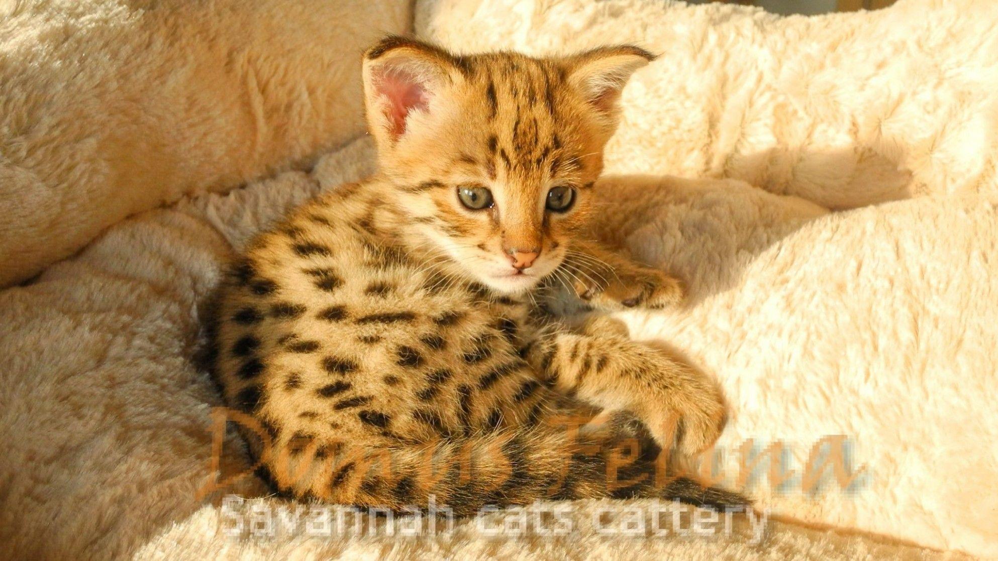 8 Serval Cat Kittens For Sale Wallpaper In 2020 Bengal Cat Kittens Ashera Cat Kitten Images