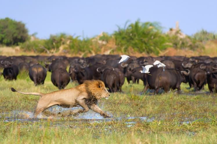 Lion on the hunt of buffalo in the Okavango Delta, Botswana. Image by Brendon Cremer / NIS / Getty Images