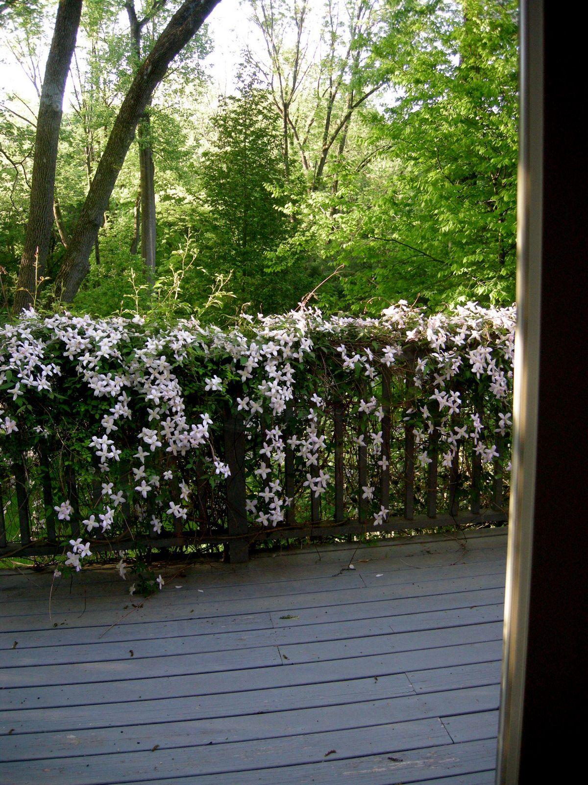 clematis montana var. rubens at carolyn's shade gardens | new, Gartengerate ideen