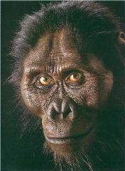 Australopithecus afarensis;Vivió entre los 3 y 3.9 millones de años antes del presente. Se cree que habitó sólo en África del este,Bípedo erguido, era de contextura delgada y grácil, de talla entre 120 y 150 cm, y peso entre 33 y 67 kg, diferente a nosotros en varios aspectos: